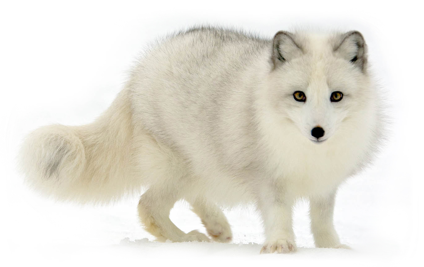 Arctic Fox Wallpapers 03